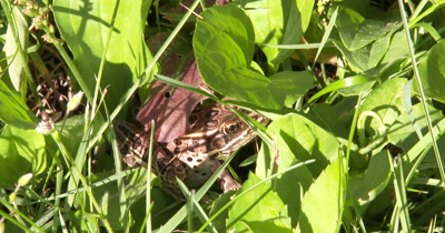 Brown Leopard Frog Hiding in Grass,Insects Feeding Nearby