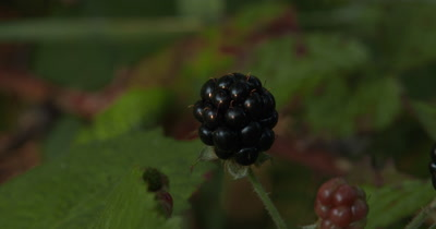Single Blackberry,Edible Wild Plant
