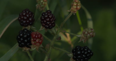 Blackberries,Group,Edible Wild Plant