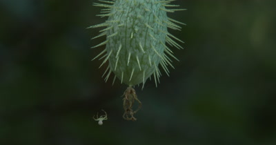 Wild Cucumber,Seed Pod,Spider Climbs Onto Fruit from Web Line