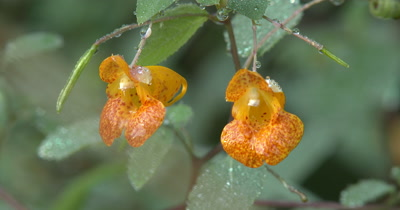 Pair of Jewelweed Blossoms,Wild Edible Plant,Medicinal Plant
