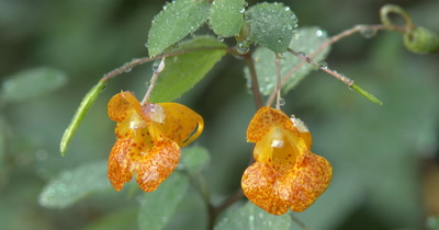 Jewelweed Blossoms,Pair with Dew on Petals and Leaves