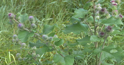 Wild Burdock,Plant and Thistle Flowers,Wildflowers