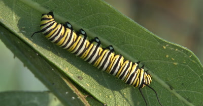 Caterpillar,Monarch Butterfly Larvae,Sleeping on Milkweed Leaf,Aphids Present
