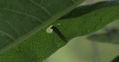 Monarch Butterfly Larvae,Caterpillar,Feeding on Milkweed,Newly Hatched
