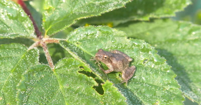 Northern Spring Peeper,Frog,Sitting on Blackberry Leaves