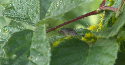 Northern Spring Peeper,Frog,Hiding Beneath Blackberry Leaves