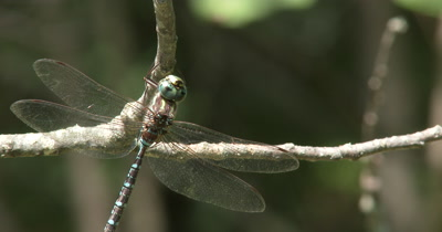 Canada Darner Dragonfly,Holding Tight to Branch,Resting