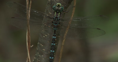 Pan Up Canada Darner,Dragonfly Resting on Side of Small Tree
