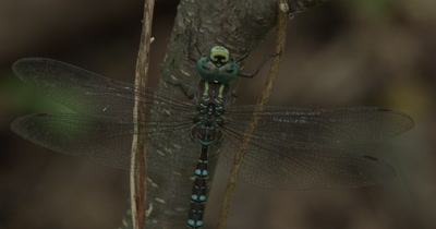 Canada Darner,ZI To CU Dragonfly Resting on Side of Small Tree
