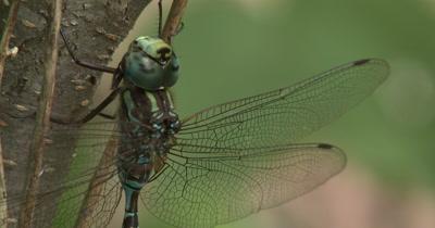 Canada Darner,Dragonfly Resting on Side of Small Tree,Side View,Twisting Leg