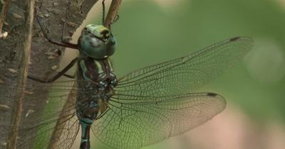 Canada Darner,Dragonfly Twisting Head,Washing Face