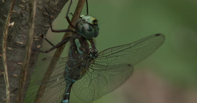 Canada Darner,Dragonfly Resting on Side of Small Tree,Flicks Wings,Repositions Body