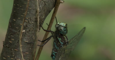 Canada Darner,Dragonfly Resting on Side of Small Tree,Side View,Moving Leg Near Eye
