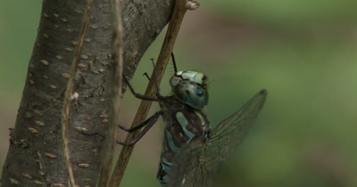 Canada Darner,Dragonfly Resting on Side of Small Tree,Close Up Side View