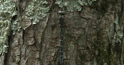 Canada Darner,Dragonfly Resting on Evergreen Trunk,Abdomen Moving,Breathing