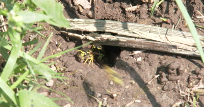 Hole in Ground,Suddenly Wasps Coming and Going,Carrying Mud Out of Nest,Yellow Jacket Wasps,Ground Bee Nest