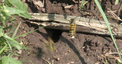 Yellow Jacket Wasps,Ground Bee Nest Hole in Ground,Many Wasps Appear,Carrying Mud From Nest
