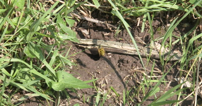 Yellow Jacket Wasps,Ground Bee Nest,Wasps Coming and Going,Carrying Mud Out of Nest