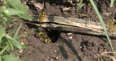 Close Up Wasp Nest in Ground,Many Wasps Carrying Mud Out of Nest,Yellow Jacket Wasps,Ground Bees