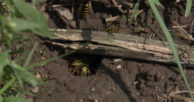 Close Up Wasps In Ground Nest,Coming and Going,Carrying Mud Out of Nest,Yellow Jacket Wasps,Ground Bees