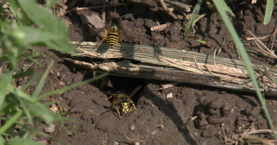 Many Yellow Jacket Wasps,Multiple Wasps,Coming and Going From Nest in Ground,Ground Bees