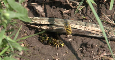 Wasps In Ground Nest,Removing Mud,One Lingers in Doorway,Yellow Jacket Wasps,Ground Bees