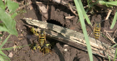 Yellow Jacket Wasps,Ground Bee Hive,ZI to Many Wasps In Ground Nest,Coming and Going,Carrying Mud Out of Nest