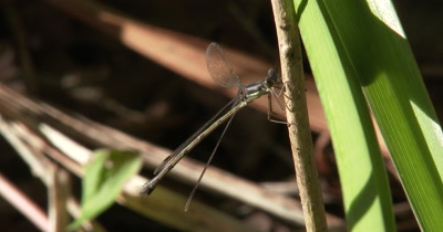 Damselfly,Spreadwing Clasped to Plant Stem,Mouth Moving