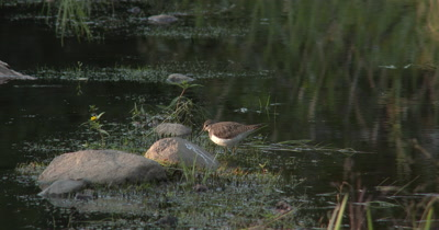 Solitary Sandpiper Hunting,Catches Leech,Attempts to Kill It