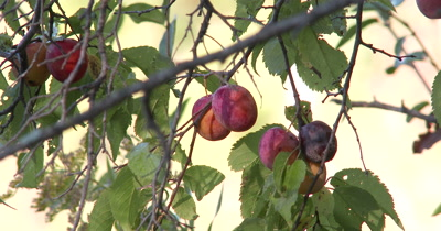 Wild Plum,Natural Wiid Food