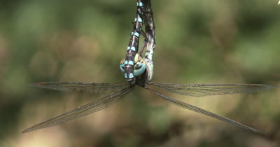 CU Frontal Face of Female Canada Darner Dragonly,Clasping Male,Mating Behavior