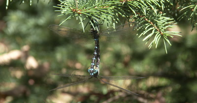Frontal Face of Female Canada Darner Dragonly,Clasping Male Above,Mating Behavior