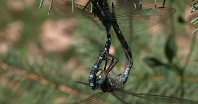 Female Canada Darner Dragonfly,Hanging Suspended Beneath Male,Mating Behavior