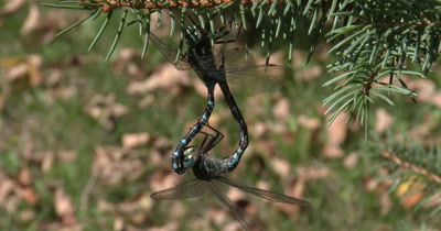 Canada Darner Dragonfly Pair,Mating in Wheel Formation