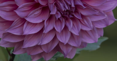 Dahlia Flower,Pan Up Large Flower