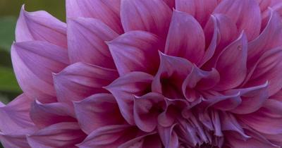 Dahlia Flower,Top Half of Lavender-Colored Petals