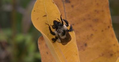 Bee Sleeping on Milkweed,Feet Twitching