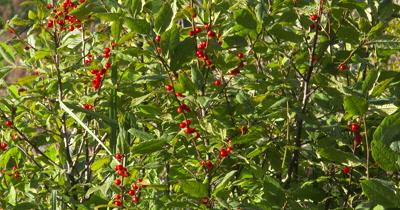 WA Highbush Cranberry Bush,Wild Edible Plant,Food