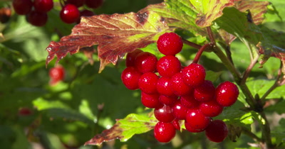 Highbush Cranberry Berries,Sparkling Morning Dew
