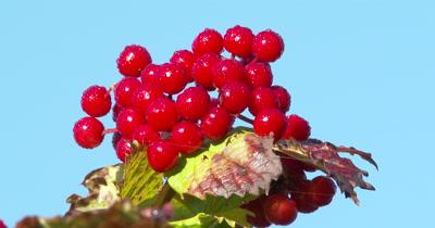 CU Berries,Highbush Cranberry Berries,Morning Dew Sparkling on Berries