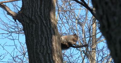 Eastern Grey Squirrel on Tree Branch,Eating Acorn
