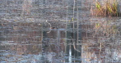 Muskrat Feeding in Pond,Turns,Picks Tail Up From Water