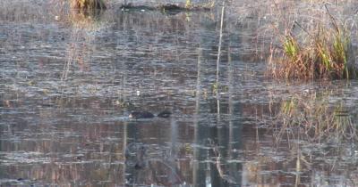 Muskrat Feeding in Pond