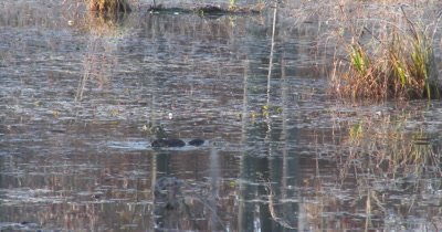 Muskrat Feeding on Pond Weeds,Tail Raises from Water