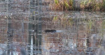Muskrat Feeding in Pond,Puts Head Beneath Water