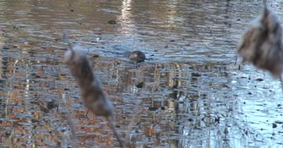 Muskrat Swimming Toward Shore