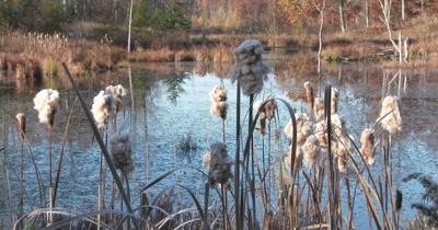 Cattail Fluff,Beaver Pond in Autumn