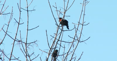 Red-winged Blackbirds in Autumn,One Calling,One Feeding