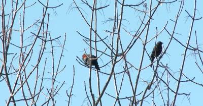 Red-winged Blackbirds in Autumn Tree,Feeding